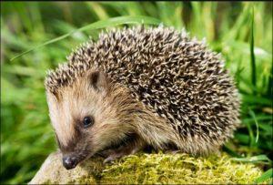 hedgehog (1)